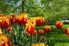 Dettagli dei Tulipani