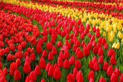 fiore tulipano