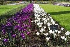 tulipani coltivazione